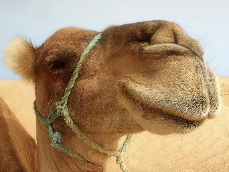 Apologetics Hit and Misc Bonus Edition: Camels Breaking the Bible's Back
