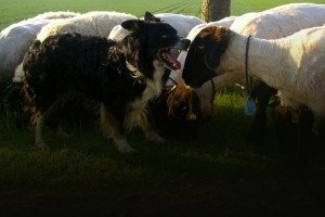 Why Every Christian Needs to Be A Sheepdog